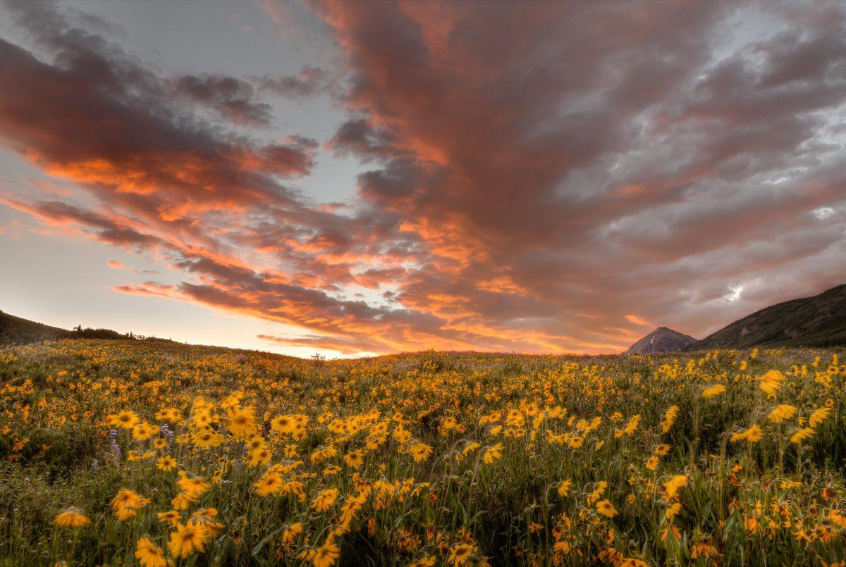 Sunflower_Sunrise_final (1).jpg